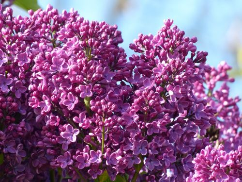 lilac violet plant
