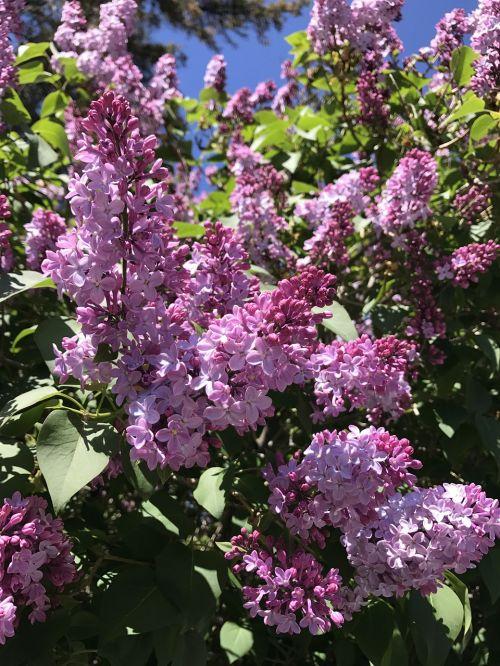 lilac bloom springtime