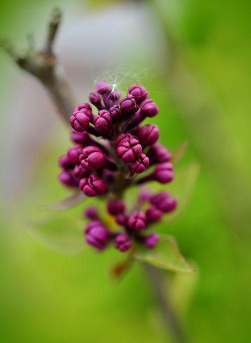 lilac lilac buds purple