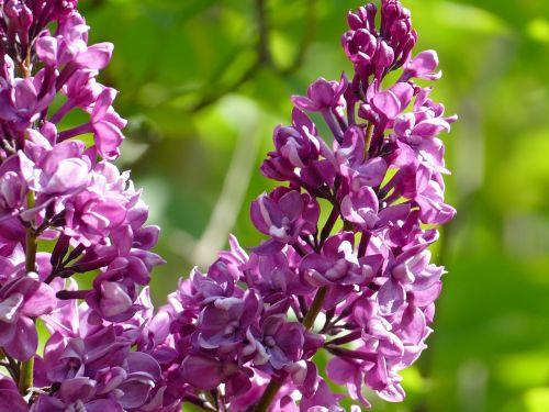 lilac purple bush