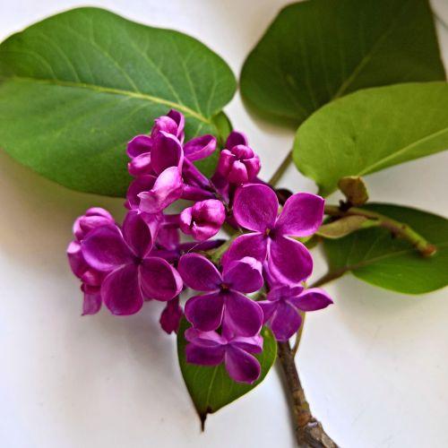 lilac flowering twig purple flowers