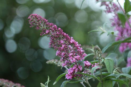 lilac purple plant