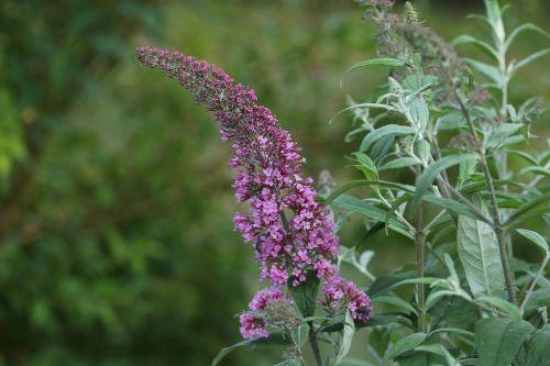 lilac plant macro