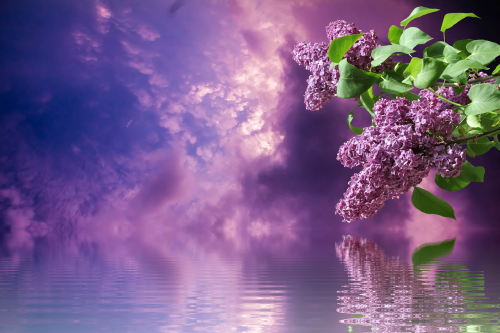lilac spring nature