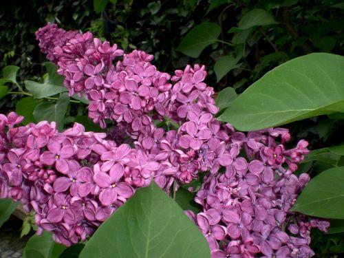 lilac ornamental shrub blossom