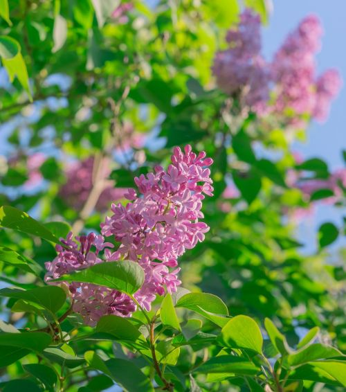 lilac flowers spring