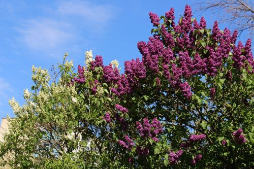 lilac purple white