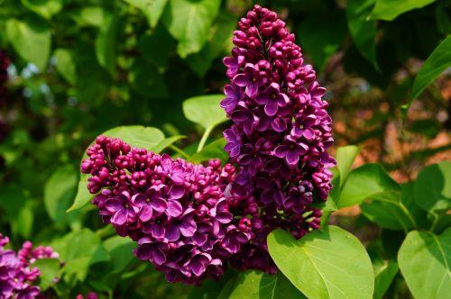 lilac syringa ornamental shrub