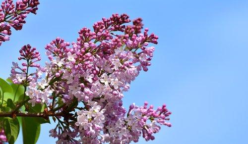 lilac  lilac flower  lilac tree