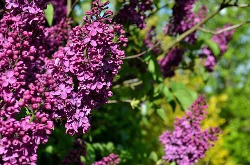 lilac  purple lilac  lilac flower