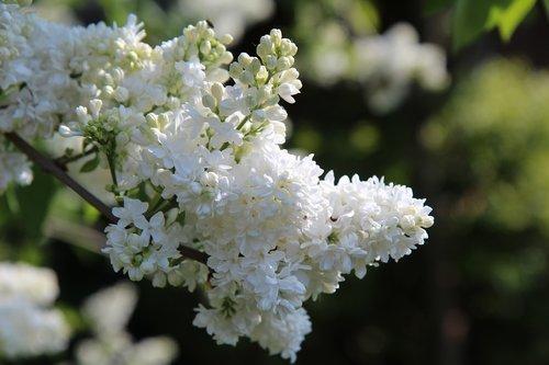 lilac  white lilac  spring season