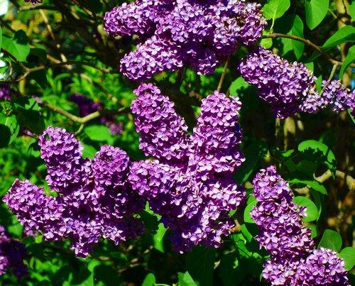 lilac  syringa  flower