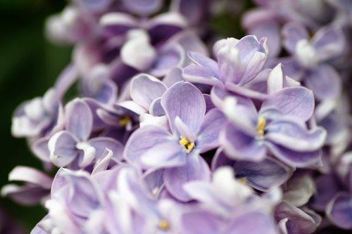 lilac  violet  ornamental