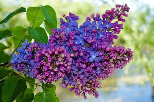 lilac  lilac bush  lilac flowers
