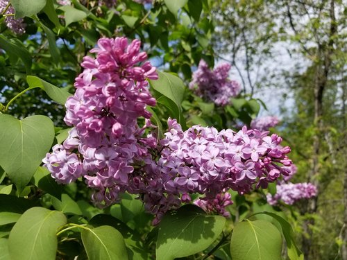 lilac  lilacs  lilac tree