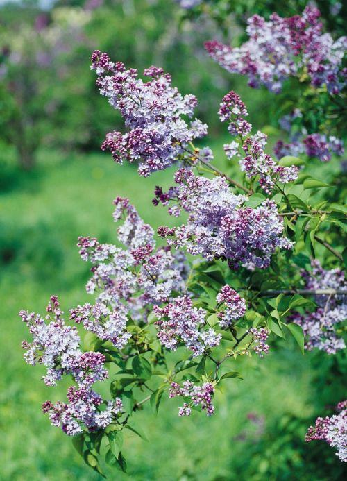 lilac shrub flowers
