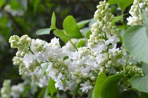 lilac white nature