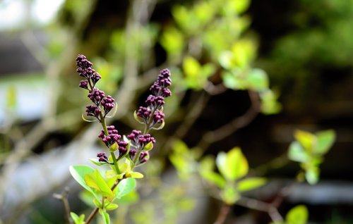 lilac  lilac tree  bud