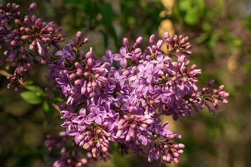 lilac  blossom  bloom
