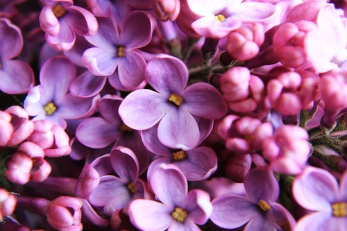 lilac  close up  purple