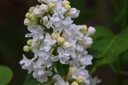 lilac  syringa  blossom