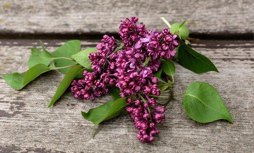 lilac  lilac tree  fliederblueten