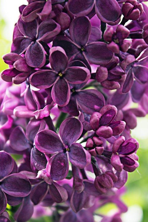 lilac  violet  purple