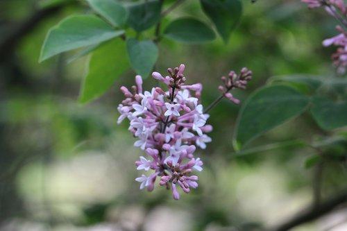 lilac  shrub  flower