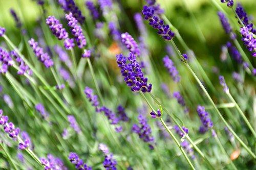 lilac  flowers  purple