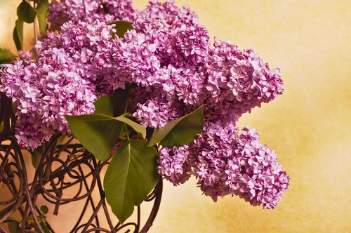lilac  lilac branches  lilac bouquet