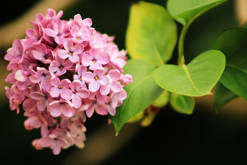 lilac  flowers  plant