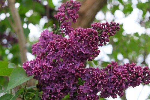 lilac  purple  spring