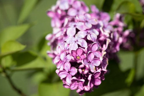 lilac  flowers  lilac flower