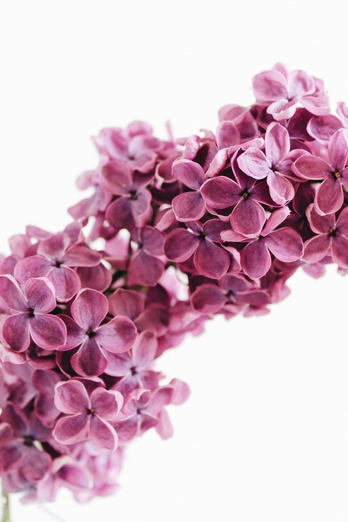 lilac  purple  violet
