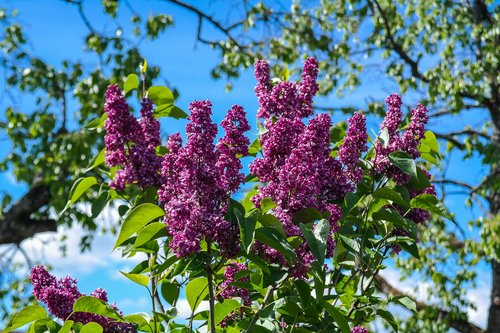 lilac  garden shrub  flowers