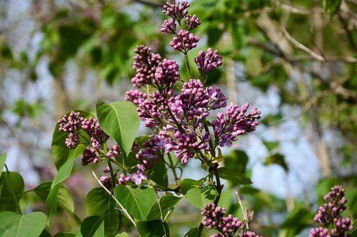 lilac  flowers  bloom