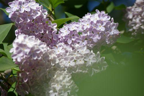 lilac flowers ornamental shrub