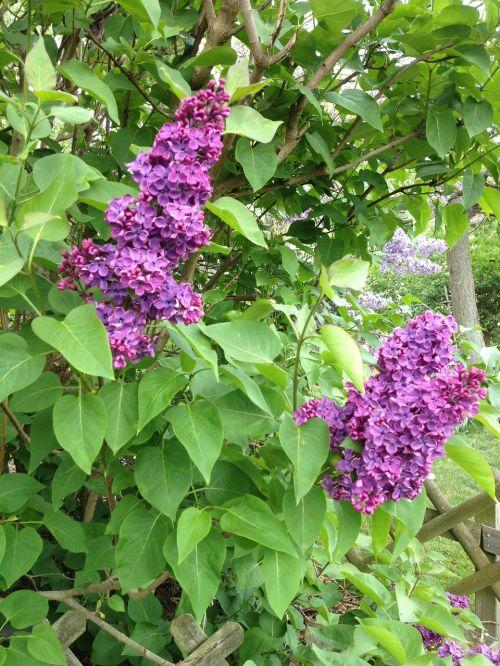 lilac purple syringa