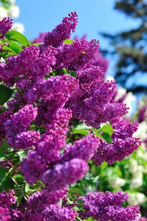 lilac kiev nature