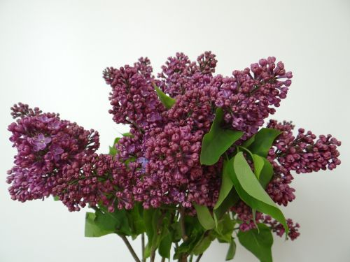lilac olive crop syringa vulgaris