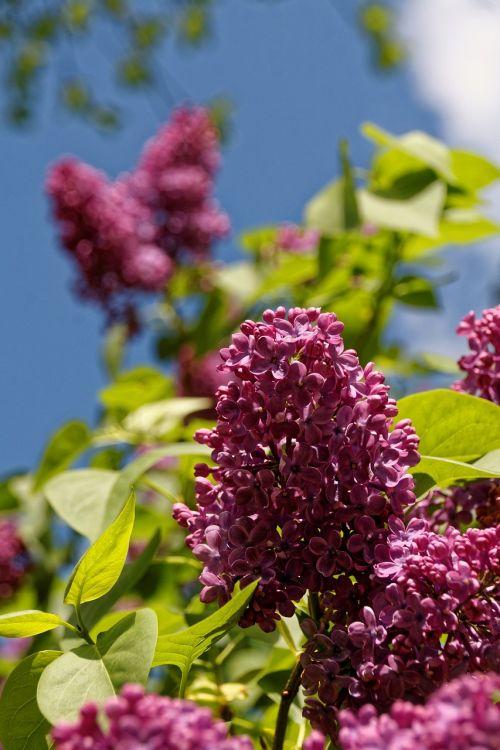 Alyva,medis,žiedas,žydėti,gėlė,augalas,Uždaryti,violetinė,žydėti