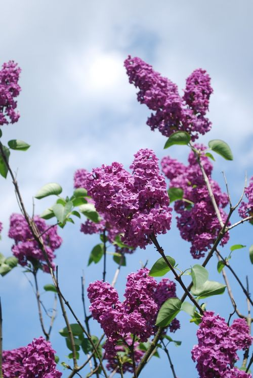 lilac flowers lilac branches