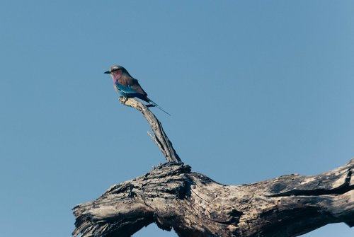 lilac breasted roller  bird  perched