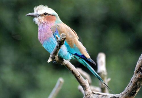 lilac-breasted roller bird coracias caudatus