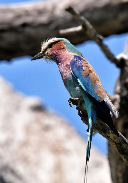lilac breasted roller bird south africa