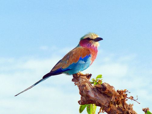 lilac breasted roller birds africa