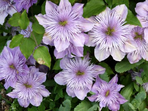 lilac clematis wall hanging flowers climbing plants