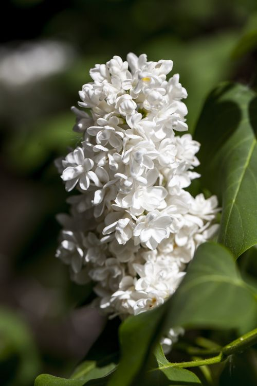 lilac flower white flower