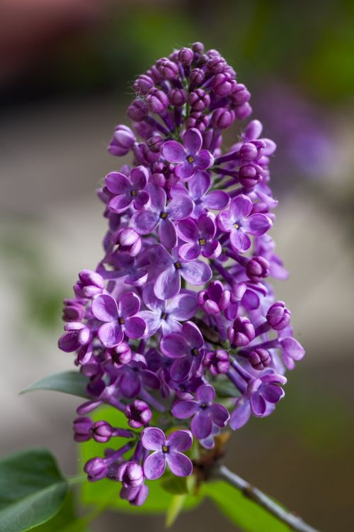 lilac flower,purple,flower,lilac,nature,floral,green,blossom,violet,plant,spring,color,bloom,summer,purple flower,decoration,vivid,gardening,colorful,macro