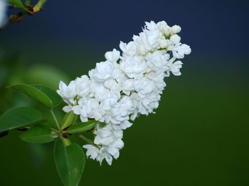 lilac flower white lilac